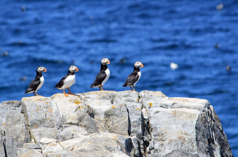 Puffins 3MB