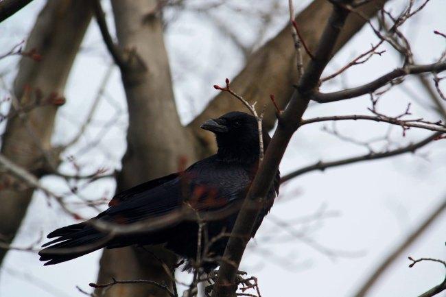 crow-2_edited-1